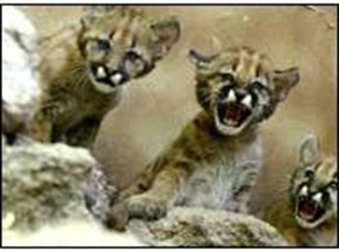 Ankara'nın puma yavruları var